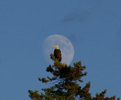 Bald Eagles are common on our Narramantic Island and Sunset cruises