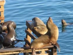 CA sea lions - during our lunch