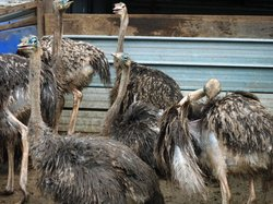 Desaru Ostrich Farm
