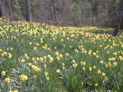 Mrs. Lee's Daffodil Garden
