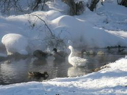 Ducks & Geese like the Hot Mineral waters too!