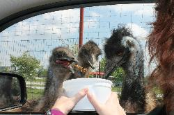 Emus are entertaining and messy eaters.