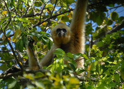 Gibbon Spotting Cambodia Adventure Tours