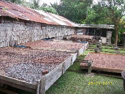 Cocoa Pans of Plantation