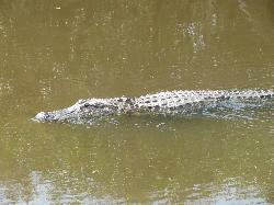 Alligator sighting on mangrove tour