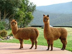 Our friendly pet Llamas