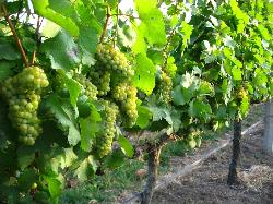 GranMonte Vineyard