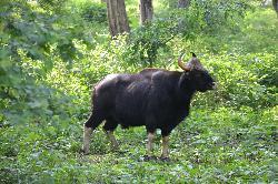 bull gaur