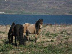 Skjaldarvik Horse Riding Tours