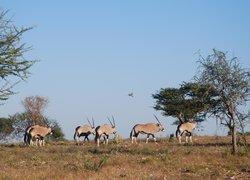 Oryx, my favourite anaimal and national symbol of Namibia on the open savannah at Okonjima, Nami