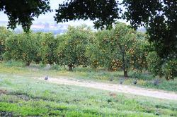 orange trees, note the wild guinea fowl