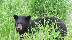 Beautiful black bear