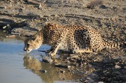 Beautiful cheetah drinking
