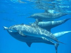 Dolphin House Reef (Sha'ab Samadai)