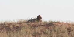 Taman Safari Kgalagadi