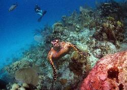 note brown, dead reef behind turtle