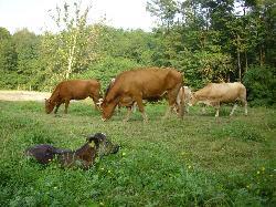 L'allevamento bovino