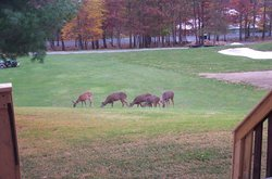 Deer on Golf course, from back deck.