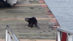Otter peeing on the dock!