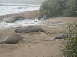 Ano Nuevo Elephant Seal Tours