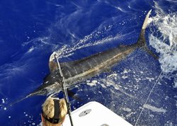 350 lb. Kona Blue Marlin prior to release