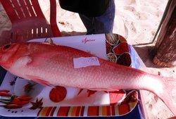 Huge Fresh Red Snapper