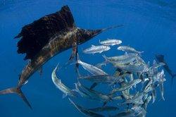 Sailfish snorkeling tour (January to March)