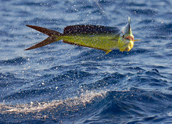 Ocean Surfari Fishing Charters - St. Thomas
