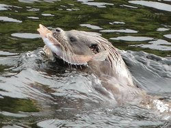Otter with a fish