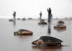 Chennai Turtle Walk