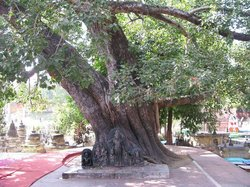 Rajayatna Tree