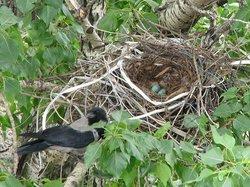 Crow's Nests