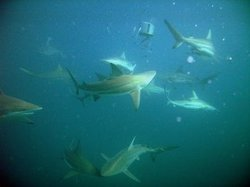 Shark Shoal