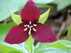 Wake Robin Trillium on the grounds.