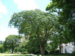 Afzelia Xylocarpa Park
