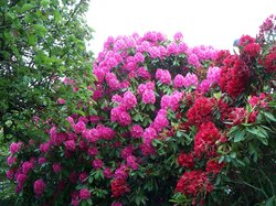 Rhododendron Trees