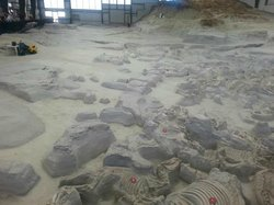 Excavated Animal Fossils 'in situ' (in the natural or original position or place)