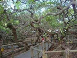 Pirangi Cashew Tree (Cajueiro de Pirangi)