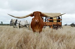 ‪Texas Longhorn Wagon Tours and Safaris‬