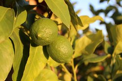 Lime grown in the garden