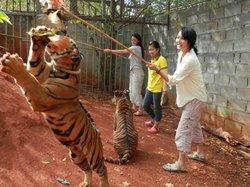 Tiger Temple Thailand Tour