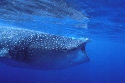 Whaleshark Tours