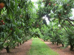 Chiles Peach Orchard