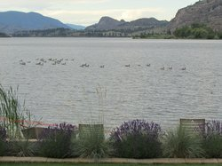The geese swimming by