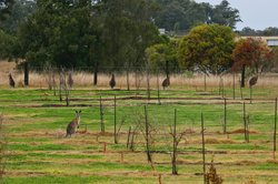 Kangaroos in the estate