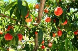 Nakagomi Fruit Orchard