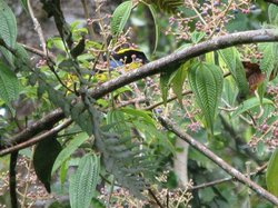 a hiding blue-winged mountain tanager (dopest bird)