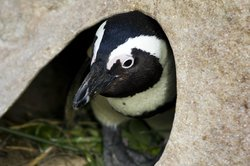 Sanccob Western Cape - Penguin Rehabilitation Center