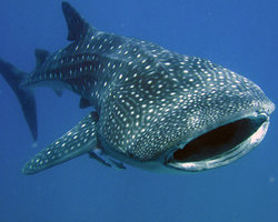 Whale Shark Encounter by Cabo Adventures