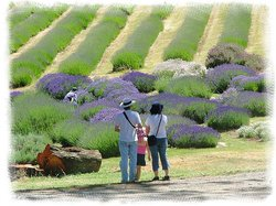 Yuulong Lavender Estate